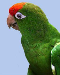 Колумбійська аратінга (краснолобов аратінга, аратінга уоглера) aratinga wagleri