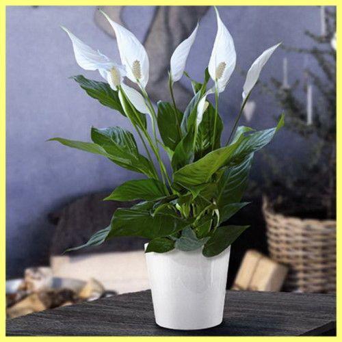 Кімнатний квітка спатифиллум як доглядати і вирощувати: фото і відео