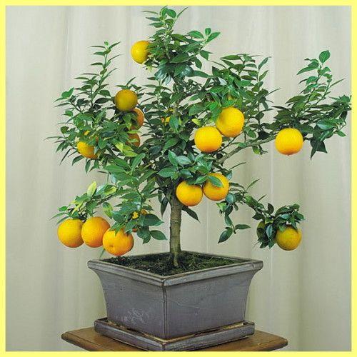 Кімнатний лимон догляд в домашніх умовах