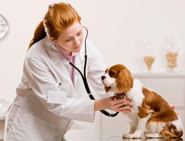 Собака на огляді у ветеринара