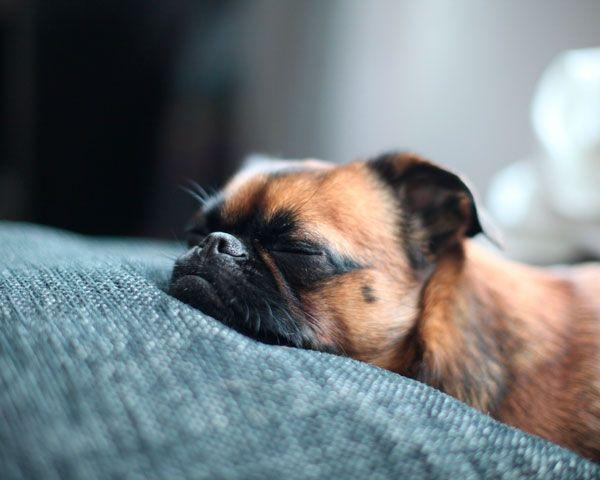 Сплячий пес набирається сил