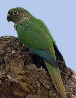 Корічневоухій піррура або буроухій попугайpyrrhura frontalis