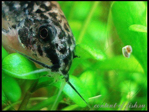 Корідораси - акваріумні соми