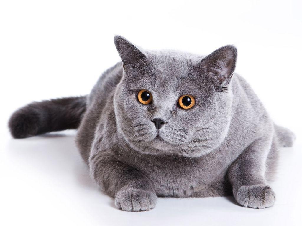 Товста британська кішка