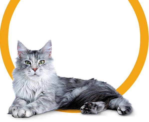 Гарний сірий котейка
