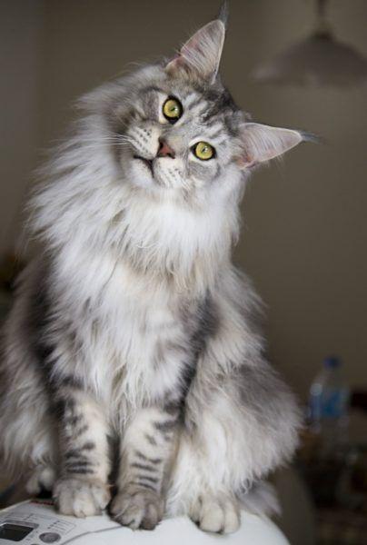 Мордочка домашнього котика