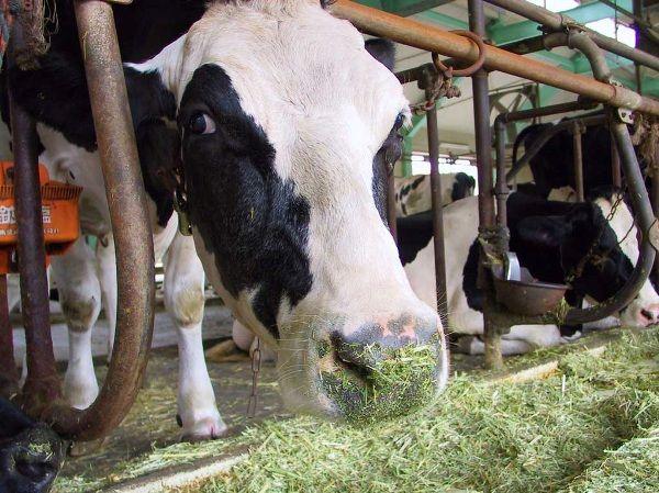 Годування корів: особливості та важливі аспекти