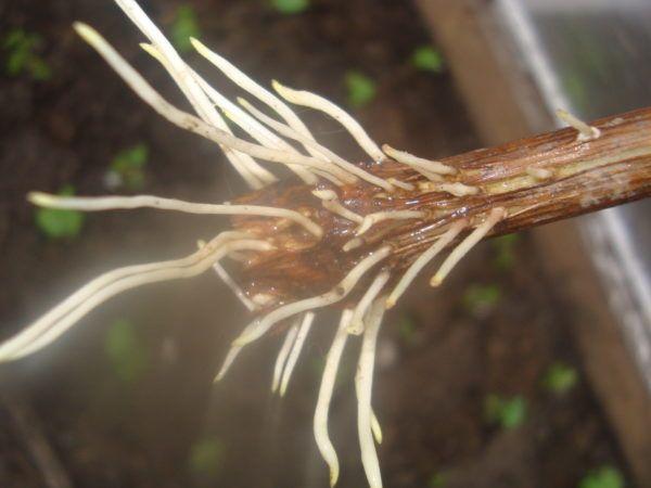 Корнеобразователь для рослин