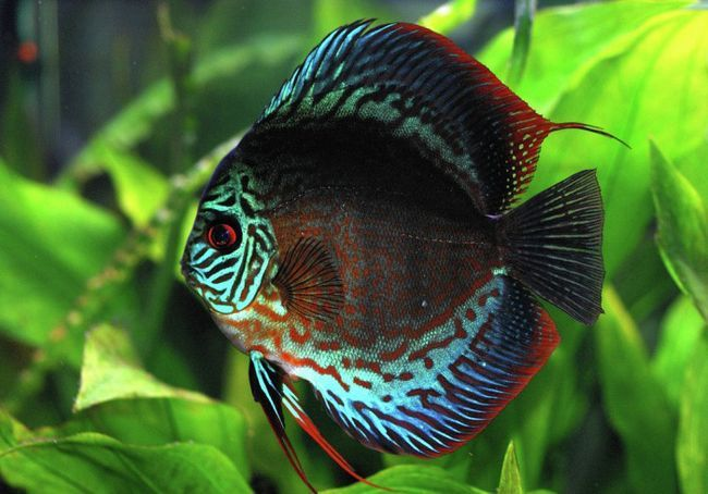 Король акваріума - дискус