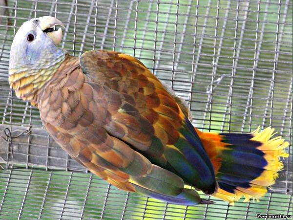 Королівський або сентвінсентскій амазонamazona guildingii