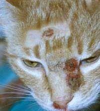 Коров`яча віспа у кішок.