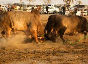 Корида по-азійському, або все про бої биків