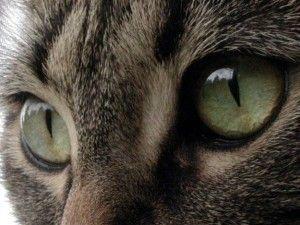 Котяче зір