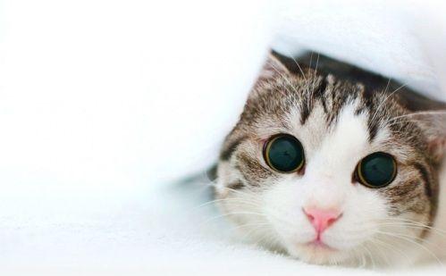 нервовий кіт