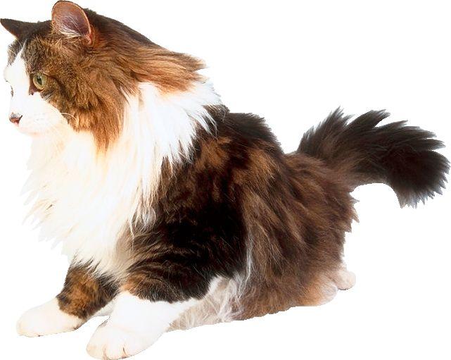 Котяча вовна