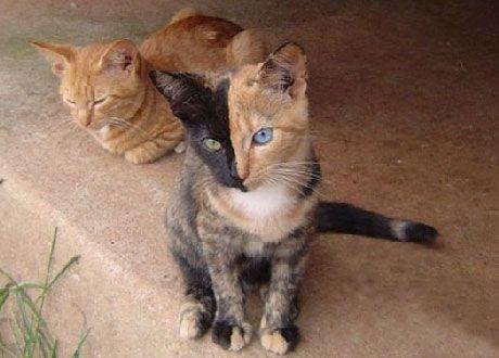 Кішка-химера на ім`я Венера