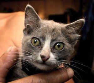 Кішка з чотирма вухами