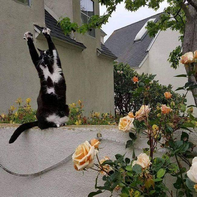 Підйом лап і опускання, підйом і опускання - чому не зарядка кішки на природі?