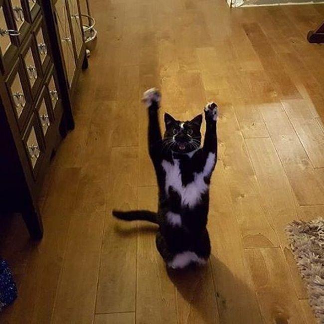 Одне з перших фото кішки з піднятими лапами.
