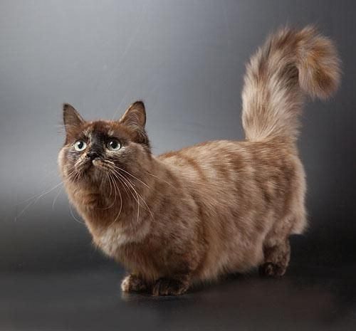 Манчкин - коротколапих кіт