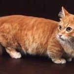 кішка такса