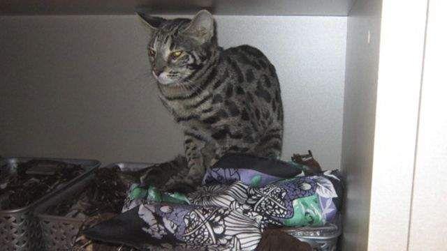 Кішка влаштувала погром в бутіку аеропорту Шереметьєво.