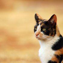 Появление кошки с черепаховым окрасом нельзя запланировать