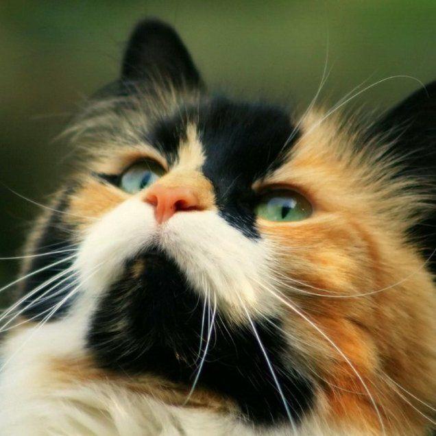 Черепаховый окрас могут носить только кошки