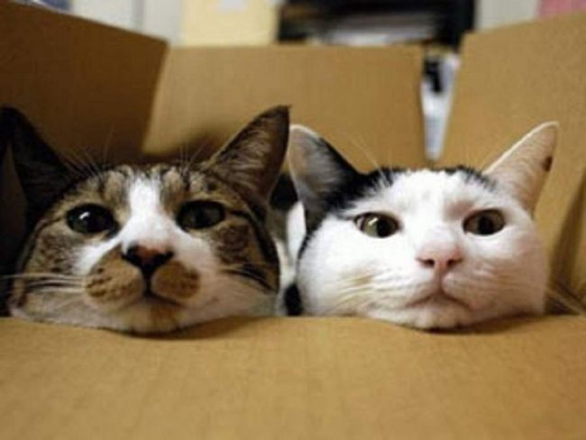 Міські кішки - в основному, по-справжньому домашні тварини, чия територія обмежується стінами вашої квартири.