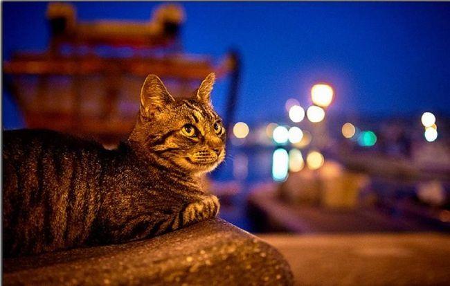 Велику небезпеку для життя кішки - мешканки міських квартир представляють відкриті вікна і не засклений балкон.