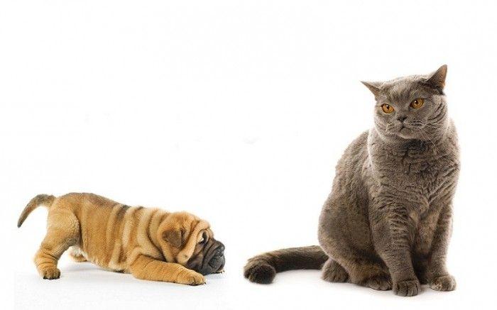 Кішка і пес
