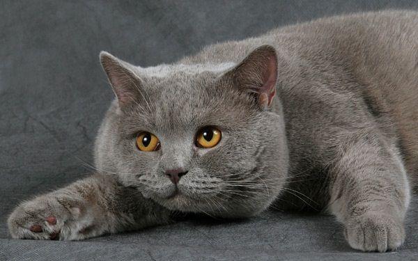Британська кішка