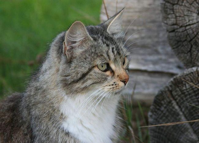Сільська кішка до кінця лактації починає сама привчати кошенят до м`ясної їжі, приносячи їм убитих мишей.