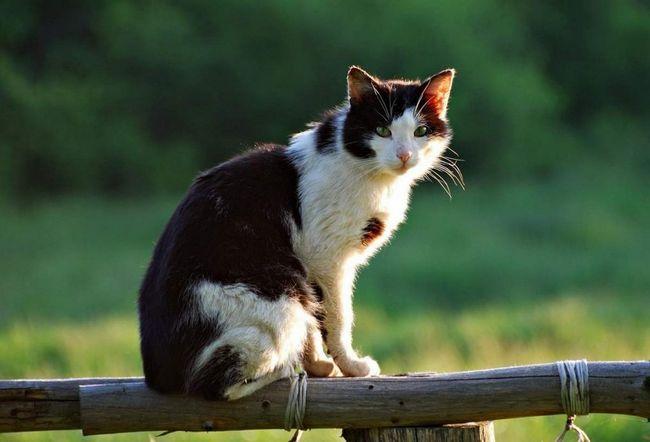 Особлива порода - кішка сільська.