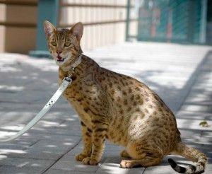Кішки світу. Ашера
