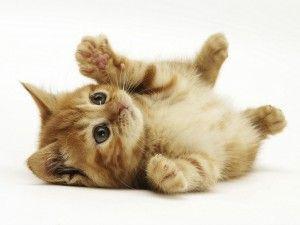 Кішки - шпалери на робочий стіл