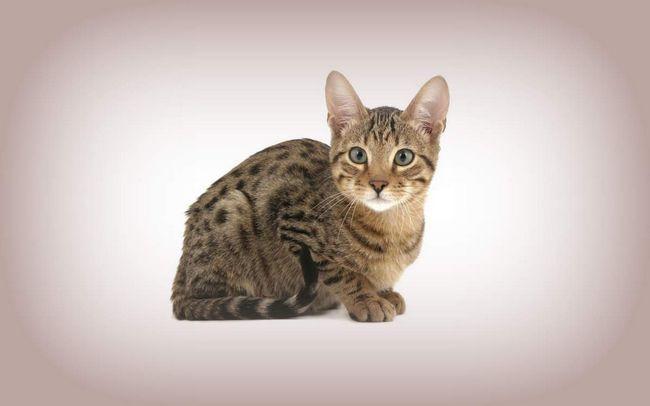 Кішки породи серенгеті: загальні характеристики