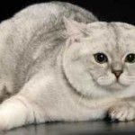 Кішки породи страйт