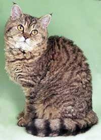 Кішки селкирк рекс. Стандарт забарвлень таббі.