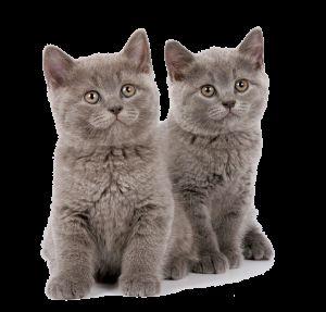 Кошенята британської породи