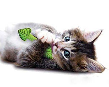 Котяча м`ята