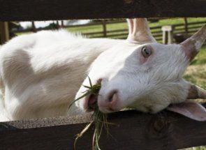 Кози на особистому подвір`ї: основи розведення та змісту