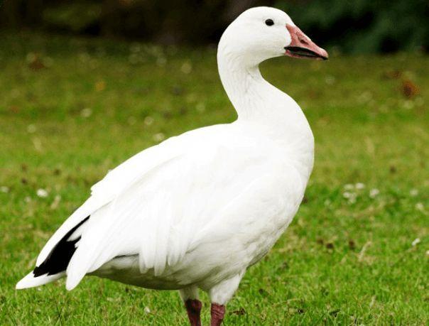 Красені з півночі - дикі білі гуси