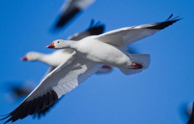 Пара диких Білих гусей в польоті