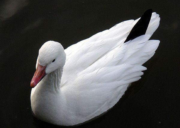 Сидячий Білий гусак на чорному тлі