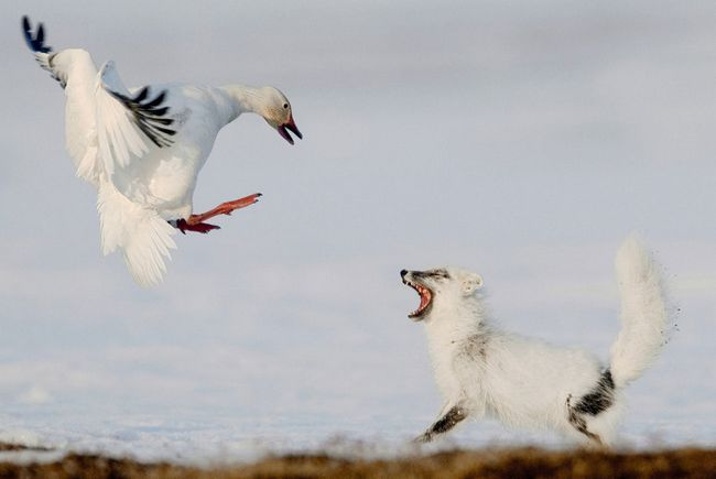 Білий гусак захищається від хижака