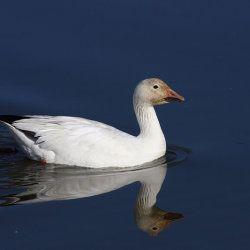 Білий гусак на воді