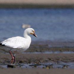 Білий дикий гусак біля моря