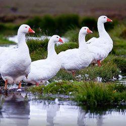 Чотири Білих гусака на болоті