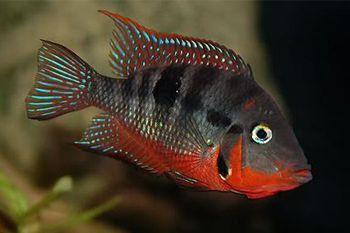 Красива акваріумна рибка ціхлазома еліота